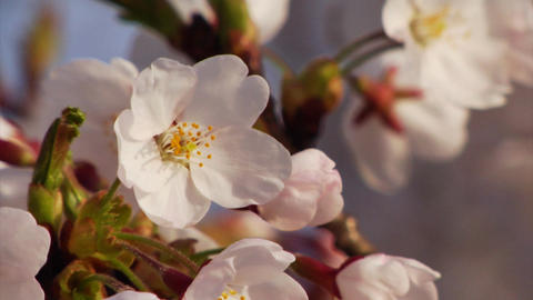Cherry Blossom Petals Stock Video Footage