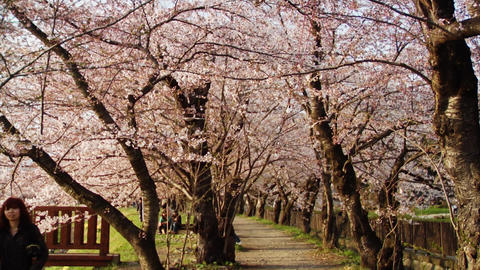 Strolling Under Cherry Trees Stock Video Footage