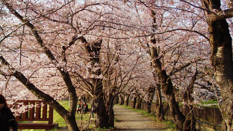 Strolling Under Cherry Trees Footage