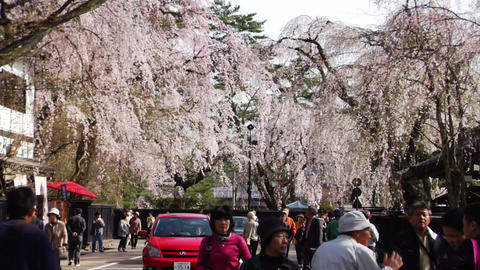 Kakunodate Cherry Trees Footage