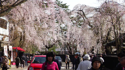 Kakunodate Cherry Trees Stock Video Footage