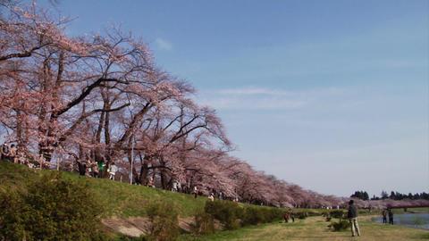 Kakunodate Cherry Blossoms Stock Video Footage