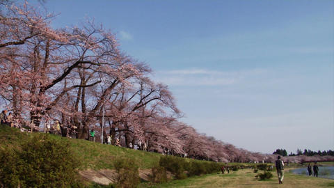 Kakunodate Cherry Blossoms Footage