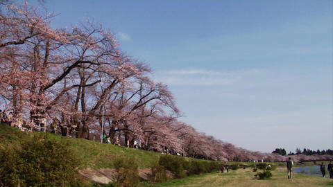 Kakunodate Cherry Blossoms Stock Video Footage