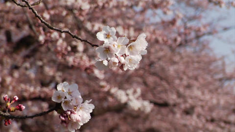 Japanese Cherry Blossoms Close Up Footage