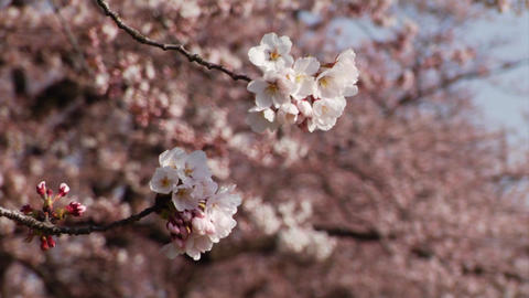 Japanese Cherry Blossoms Close Up Stock Video Footage