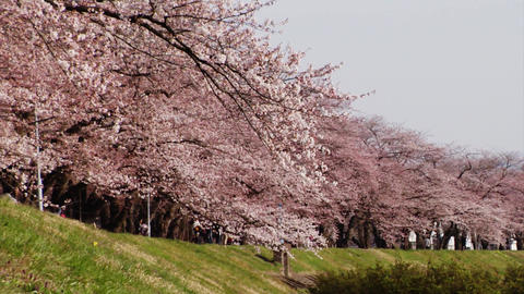 Cherry Blossoms And Japanese Stock Video Footage