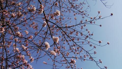 Video Clips Sakura Footage
