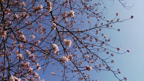 Video Clips Sakura Stock Video Footage