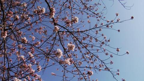 Video Clips Sakura Stock Video Footage