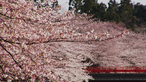 Sakura Video Clips Stock Video Footage
