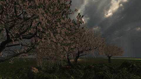 1017 Spring Blooming Cherry Tree Grove Rain Storm TIme Lapse Stock Video Footage