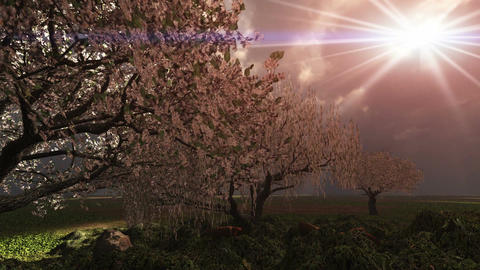 1017 Spring Blooming Cherry Tree Grove Rain Storm TIme Lapse Animation