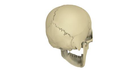 skull model Animation