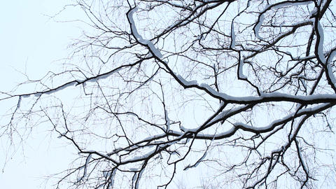 birch branches Stock Video Footage