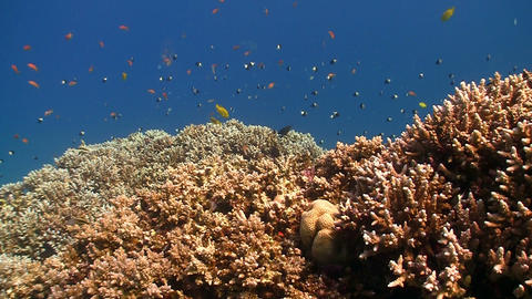 Colorful Fish on Vibrant Coral Reef, Red sea Footage
