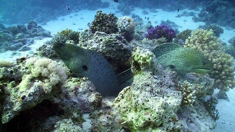 Two Moray on Coral Reef, Red sea Stock Video Footage
