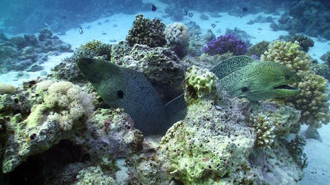 Two Moray on Coral Reef, Red sea Footage