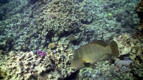 Napoleon fish on Coral Reef, Red sea Footage