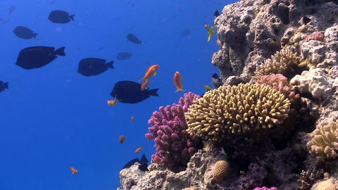 Colorful Fish on Vibrant Coral Reef, static scene, Red sea Footage