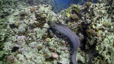 Moray on Coral Reef, Red sea Stock Video Footage