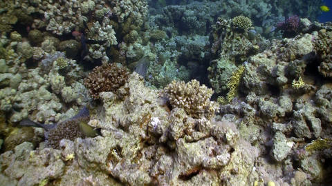 Moray on Coral Reef, Red sea Footage
