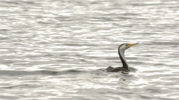 Cormorant (Shag) Flying Away on the Moore River Stock Video Footage