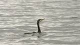 Cormorant (Shag) Flying Away on the Moore River Footage