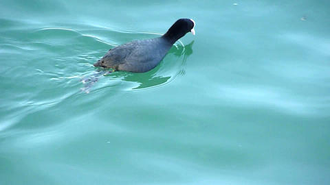 Duck diving for food Stock Video Footage