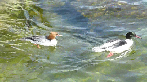 Couple of ducks diving for food Stock Video Footage
