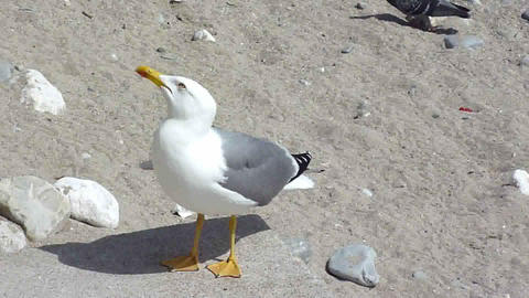 Seagull asking for food Footage