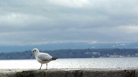 Seagull walking and eating on a wall Stock Video Footage