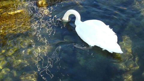 Swan searching for food under water Stock Video Footage