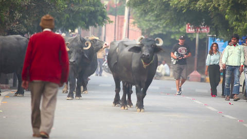 Indian Buffalos Stock Video Footage