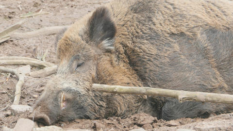 Male wild boar sleeping close up Live Action