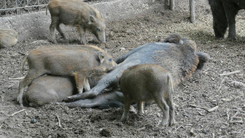 Wild boar piglets feeding Footage