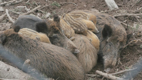 Wild boar piglets laying down together Live Action