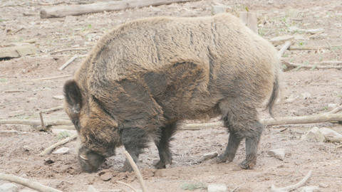 Wild male boar digging in the dirt Live Action