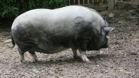 Pig2a g Footage