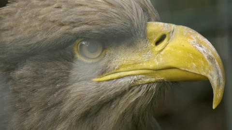 Close up of eagle head 10bit HDR / HLG Live Action