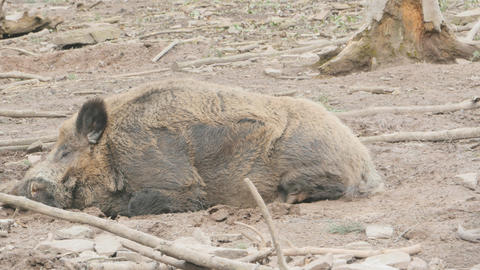 Male wild boar sleeping wide Live Action