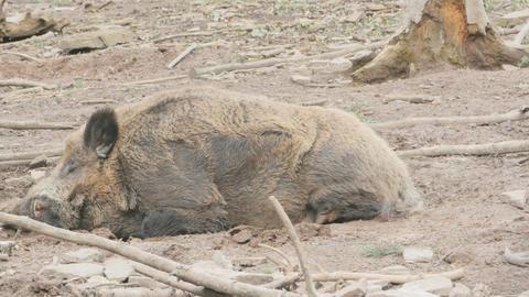 Male wild boar sleeping wide Footage