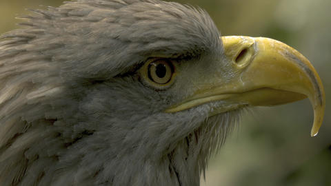 Close up eagle head profile in 10bit HDR / HLG Live Action