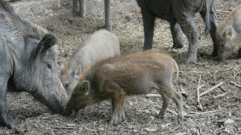 wild boar Two piglets digging in dirt Live Action