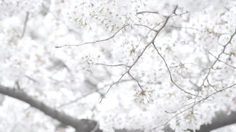 japanese cherry ビデオ