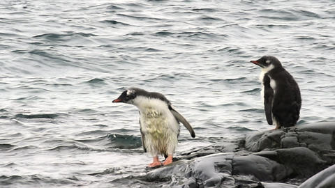 Gentoo Penguins chiks Live Action