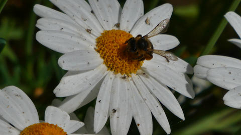 bee takes nectar from a daisy ビデオ