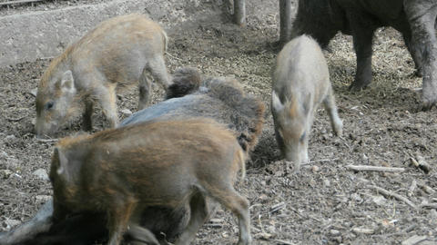 Wild boar piglet feeding on female pigs tit Footage