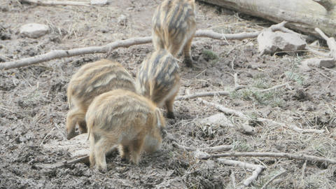 Four piglets foraging in the dirt Live Action