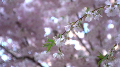 Cherry tree branch with pink flowers blossoming on it Footage
